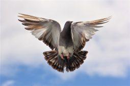 Богът на гълъбите